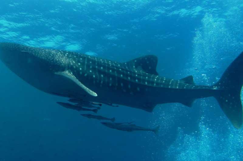 Descubren cuál es el pez más grande del mundo
